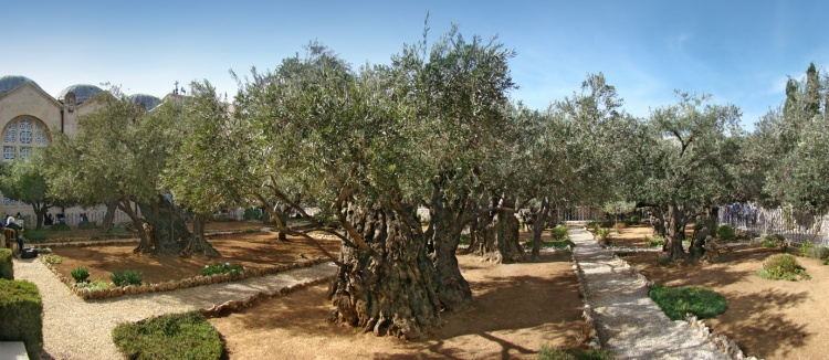 An Olive Tree in Gethsemane